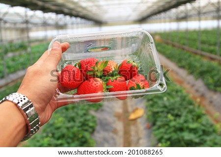 Fresh picked strawberries held over strawberry plants - stock photo