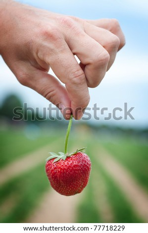 Fresh picked strawberry held over strawberry plants - stock photo
