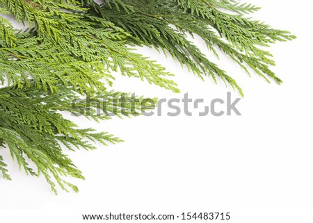 Fresh pine branches isolated