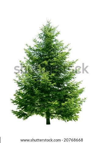 Fresh pine tree isolated on white background - stock photo