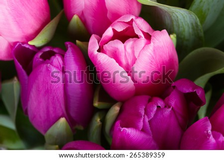 fresh pink  and purple tulip flowers  close up