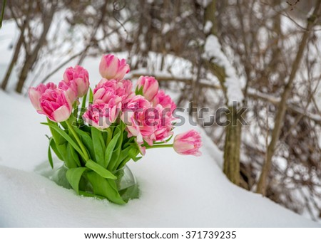 Fresh pink and white tulips are in a round vase in the snow against the backdrop of winter snow-covered trees. - stock photo