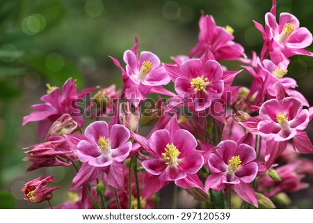 Fresh pink Aquilegia  Granny's Bonnet star columbine flower in summer time - stock photo