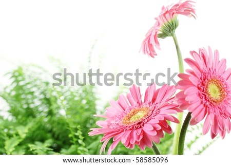 Fresh pink daisy in the morning.