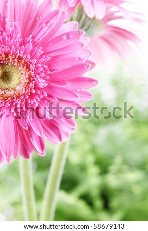 Fresh pink daisy  with water drops,Closeup. - stock photo