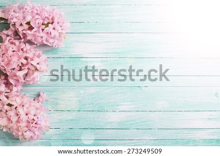 Fresh pink flowers hyacinths in ray of light  on turquoise painted wooden planks. Selective focus. Place for text. - stock photo