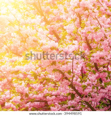 Fresh pink flowers of sakura growing in the garden, natural spring outdoor background with sun shining and copy space - stock photo