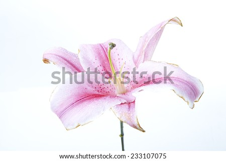 Fresh pink lilies droop on white background. - stock photo