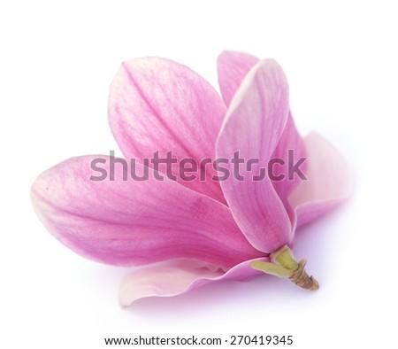 fresh pink magnolia flower  on white background  - stock photo