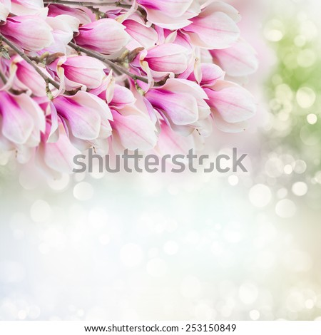 Fresh  pink magnolia  tree flowers against blue and green bokeh background