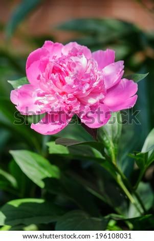 Fresh pink peony flower closeup on the bush - stock photo