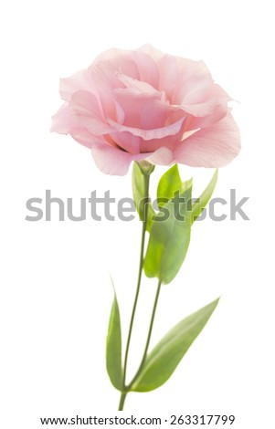 Fresh pink rose flower isolated on white  - stock photo