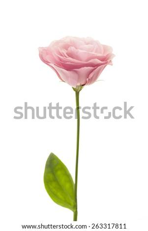 Fresh pink rose flower isolated on white background - stock photo