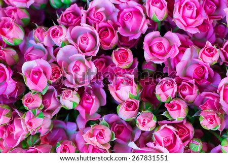 Fresh pink roses with green leaves- nature spring sunny background. Soft focus and bokeh - stock photo