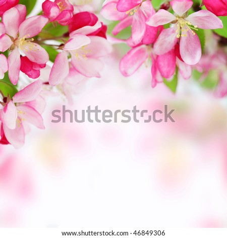 Fresh, pink, soft spring apple tree blossoms on white background. Shallow DOF. - stock photo
