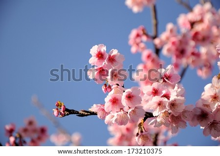 Fresh, pink, soft spring cherry tree blossoms on pink bokeh background. Very shallow DOF.