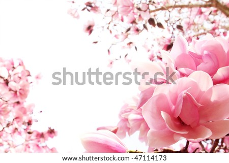 Fresh, pink, spring magnolia tree blossoms on white background. Shallow DOF. - stock photo