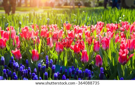 Fresh pink tulips in the Keukenhof Gardens glowing by morning sunlight. Beautiful outdoor scene in Netherlands, Europe. - stock photo