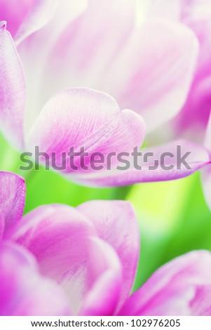 Fresh Pink tulips - selective focus - stock photo