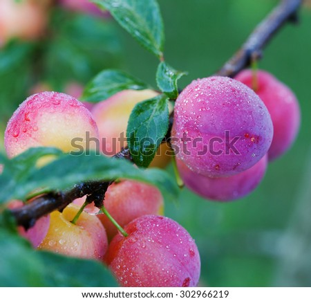 Fresh plums on the tree in orchard - stock photo