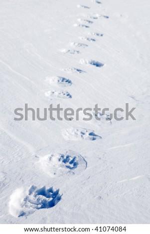 Fresh polar bear tracks - Spitsbergen, Svalbard, Norway - stock photo