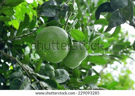 Fresh pomelo on tree - stock photo