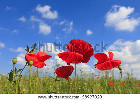 Fresh Poppies in a green field in summer
