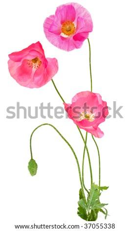 Fresh poppy flowers isolated on white background - stock photo