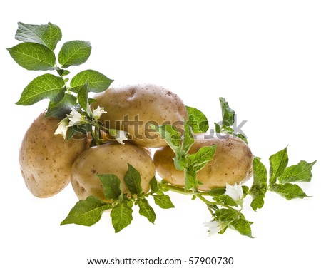 fresh potato tubers with a flower isolated on white - stock photo