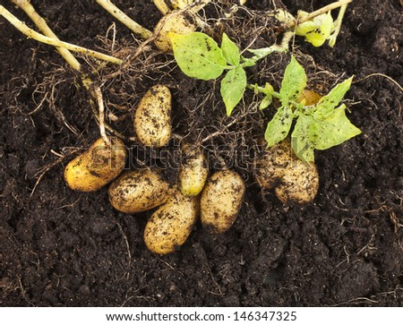 fresh potato vegetable with tubers in soil dirt surface background  - stock photo