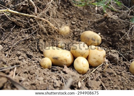 Fresh potatoes dug out the field in summer.
