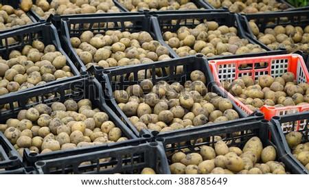 Fresh potatoes in the box. Storage house - stock photo