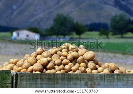 Fresh potatoes inside  a container in a potatoes field at the North Island of  New Zealand. - stock photo