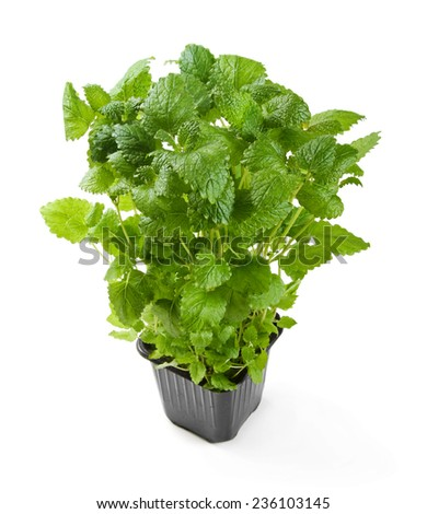 fresh potted melissa isolated on white