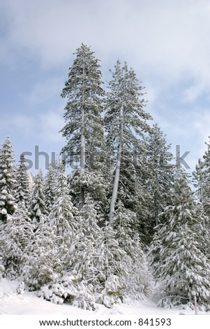 Fresh Powder on Trees - stock photo