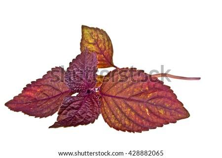 Fresh purple basil on a white background - stock photo