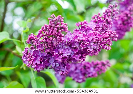 fresh purple lilacs