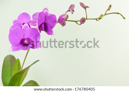 fresh purple orchid close up