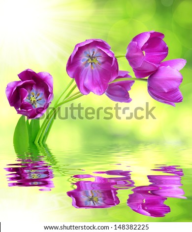 fresh purple tulips reflected on the surface of the water - stock photo