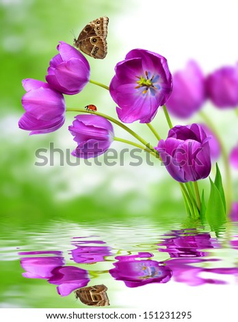 fresh purple tulips with butterfly morpho on green background  - stock photo