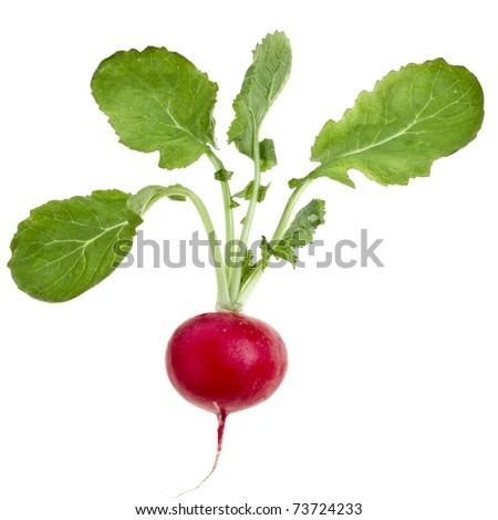 Fresh radish close up isolated on white background   - stock photo