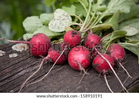 fresh radish on dark boards - stock photo