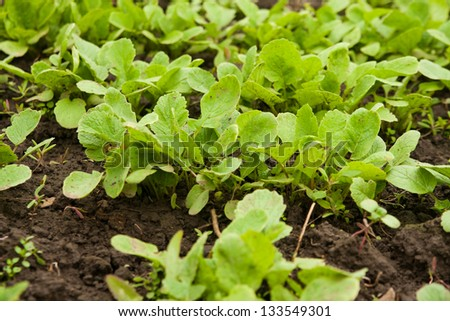 Fresh radish seedlings, in a greenhouse - stock photo