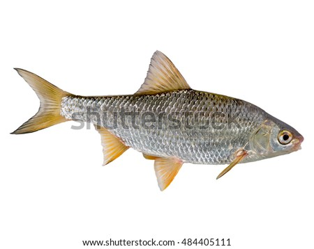 fresh raw common roach on white background