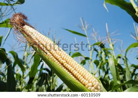 fresh raw corn on the cob with husk - stock photo