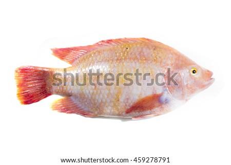 Fresh raw fish,Red tilapia,Nile tiapia (Oreochromis niloticus-mossambicus) - stock photo