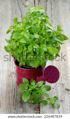 Fresh Raw Green Basil Leaves with Water Drops in Purple Watering Can and Bunch closeup on Rustic Wooden background - stock photo