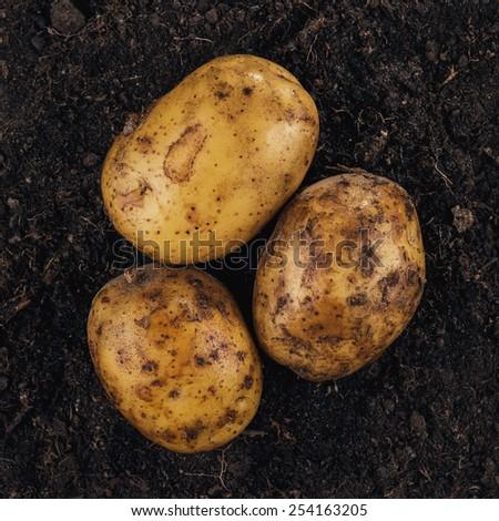 fresh raw potatoes on the soil background - stock photo