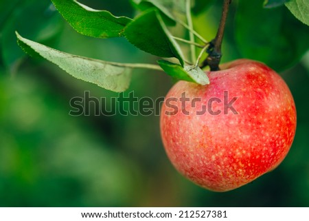 Fresh Red Apple On Tree Branch, Bunch, Ready To Be Harvested. Late Summer Or Early Autumn Harvest - stock photo