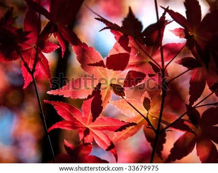 Fresh red baby maple leaves - stock photo